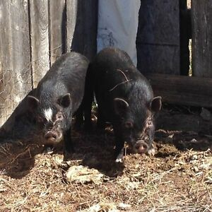 8 month old male potbelly pigs