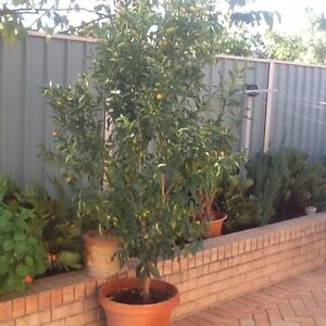 Kumquat tree healthy in pot Balcatta Stirling Area Preview