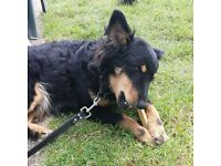 8 yr old German Shepherd x collie, lovely and affectionate. rehoming due to circumstances changing