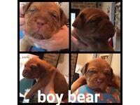 Kc dogue de bordeaux puppies for sale