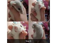 Friendly female rats for sale