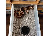 Ball pythons group