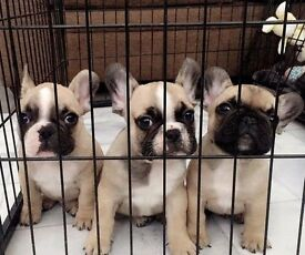 KC FRENCH BULLDOGS