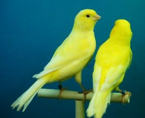 Canaries for sale