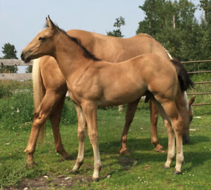 Reg Quarter horse Buchskin colt