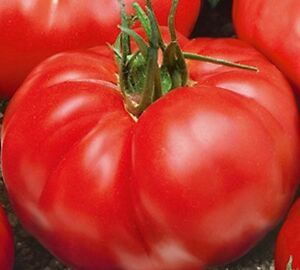 King Of Giants Russian Heirloom Tomato Seeds..!! (Rare)