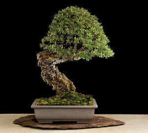 Quercus suber quercia da sughero 5 semi ebay - Sughero pianta da giardino ...