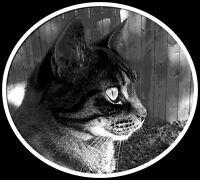 Lost black/brown tabby cat- Bou
