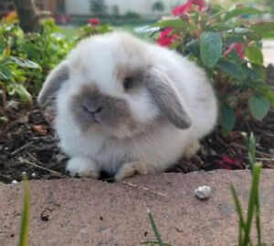 Bonded Holland lop bunny sisters