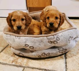 Cockapoo pups £1550