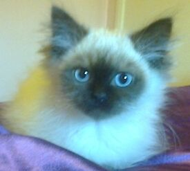 3 perfect Siberian kittens for sale