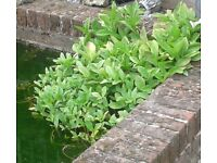 POND PLANTS, Mature plants, clean of weed, good roots. Menyanthes trifoliata.