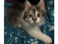Female kittens - One Left!