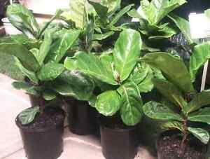 Ficus Lyrata (Fiddle Leaf Fig) 20cm Greenvale Hume Area Preview