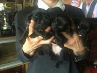 Stunning jug puppies for sale
