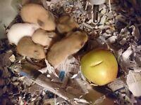 Pedigree Syrian Hamster Babies from Babyboos Hamstery hobby show breeder Edinburgh Scotland