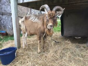 Friendly Purebred Toggenburg Buck - Proven!