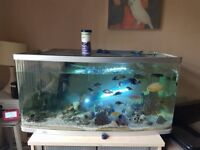 Golden Severum and 3ft tank for sale