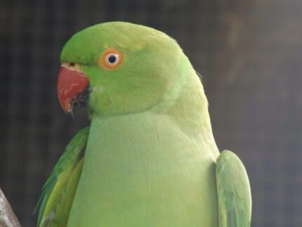 Cheap Ringnecks Beaudesert Ipswich South Preview