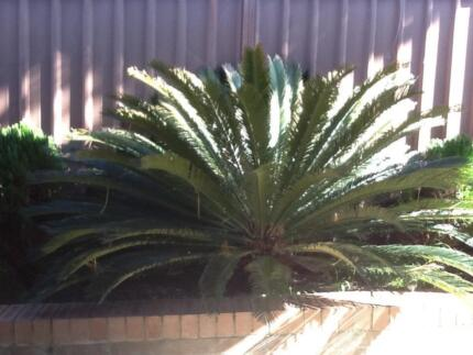 Cycads for sale Croydon Burwood Area Preview