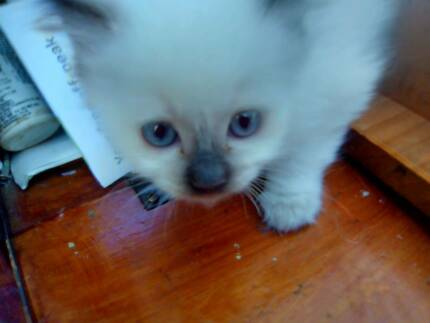 RAGDOLL CHOCOLATE FEMALE - WITH PEDIGREE PAPERS