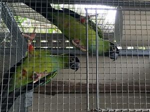 Nanday Conures Maryborough Fraser Coast Preview