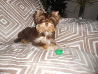 Yorkshire terrier-chocolate