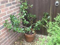 4ft Holly tree in terracotta pot