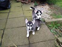HUSKY PUPPY FOR SALE