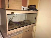 Royal Python With Set Up