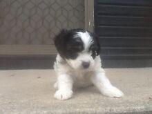 Adorable Maltese X Moodle Puppies Wanniassa Tuggeranong Preview