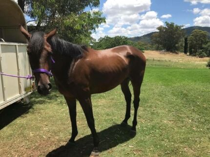 Horses two tb mares for sale