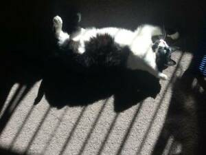 KITTY GIRL (IF065-15) - rescue cat - *Vet Work Included* Thornlie Gosnells Area Preview