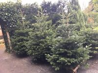 LOCAL GREAT QUALITY CHRISTMAS TREES
