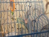 Semi tamed budgies for sale