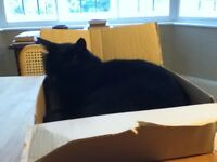 Missing black male cat, aged 10, from Carisbrooke Drive, Mapperley Park