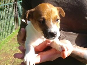 JACK RUSSELL X FOXY PUPPIES Camden Camden Area Preview