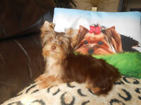 Yorkshire terrier-(chocolate)