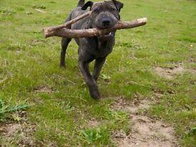 Gorgeous sharpei x English bull terrier