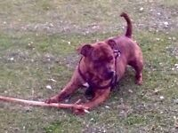 Male Staffordshire bull terrier four years old