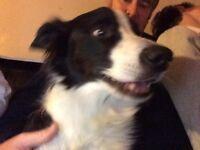 Border Collie Dog Stolen Cambridge