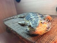 Adult male Bearded Dragon.