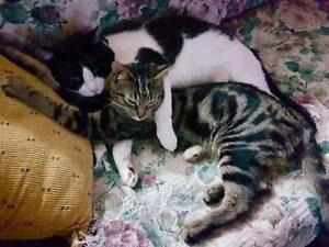 AC0769/AK2497 : GI Joe/Teebo - CATS to ADOPT - Vet Work Inc