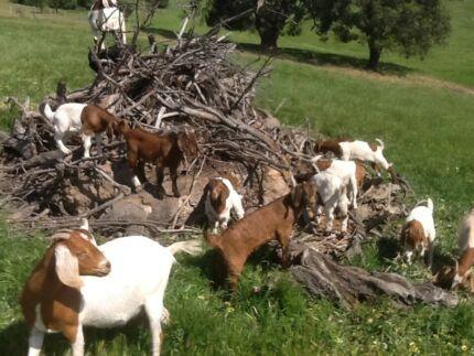 Baby Goats Willunga Morphett Vale Area Preview