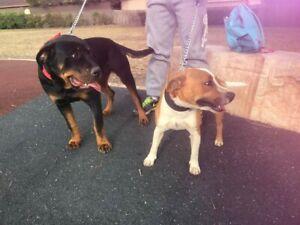 rottweiler x | Dogs & Puppies | Gumtree Australia Free Local