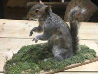 Taxidermy Vintage Squirrel