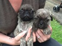 Ready Now Home Bred Pug Puppies