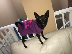 3yo female Chi