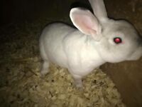 Mini lop buck for sale approx 2 years old
