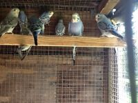 Baby budgies for sale between 8 to 10 weeks old.£15 each or 2 for £25